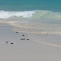 Frisch geschluepfte Schildkroeten krabbeln ins Meer am Strand im 4-Sterne Plus Hotel Bucuti & Tara Beach Resort.