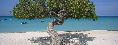 Divibaum in der Karibik am Strand.